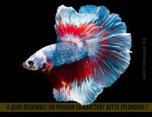 A-quoi-ressemble-un-poisson-Combattant-Betta-Splendens-04