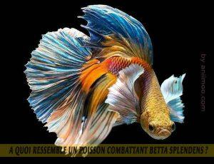 A-quoi-ressemble-un-poisson-Combattant-Betta-Splendens-05