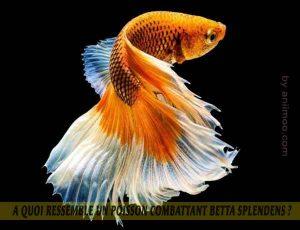 A-quoi-ressemble-un-poisson-Combattant-Betta-Splendens-07