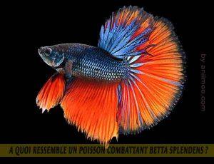 A-quoi-ressemble-un-poisson-Combattant-Betta-Splendens-08