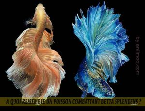 A-quoi-ressemble-un-poisson-Combattant-Betta-Splendens-09