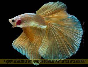 A-quoi-ressemble-un-poisson-Combattant-Betta-Splendens-10