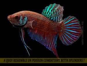 A-quoi-ressemble-un-poisson-Combattant-Betta-Splendens-11