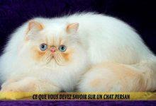 Ce-que-vous-devez-savoir-sur-un-chat-Persan-00