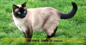 Chat-Siamois