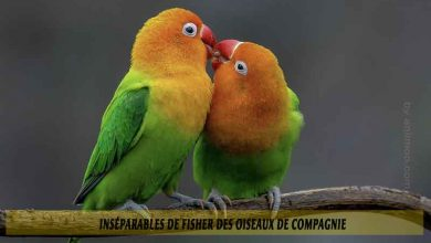 Inséparables-de-Fisher-des-oiseaux-de-compagnie-00