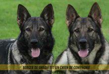 Le-Berger-de-Shiloh-est-un-chien-de-compagnie-00