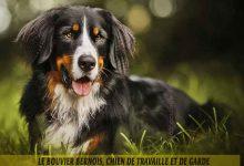 Le-Bouvier-Bernois,-chien-de-travaille-et-de-garde-00
