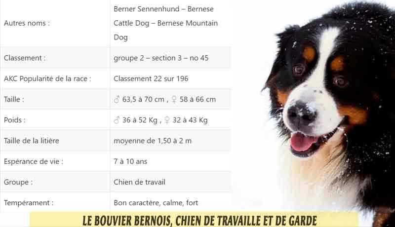 Le-Bouvier-Bernois,-chien-de-travaille-et-de-garde-02