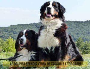 Le-Bouvier-Bernois,-chien-de-travaille-et-de-garde-03