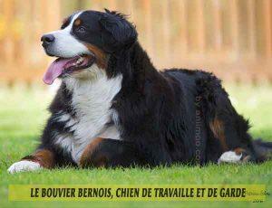 Le-Bouvier-Bernois,-chien-de-travaille-et-de-garde-04