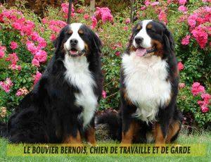 Le-Bouvier-Bernois,-chien-de-travaille-et-de-garde-05