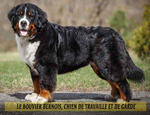 Le-Bouvier-Bernois,-chien-de-travaille-et-de-garde-06
