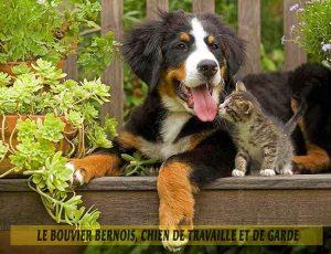Le-Bouvier-Bernois,-chien-de-travaille-et-de-garde-07