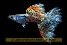 Les-Guppys-reproduction,-alimentation-et-soins-00