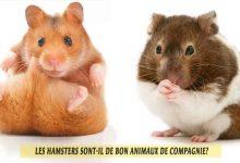Les-Hamsters-sont-il-de-bon-animaux-de-compagnie02