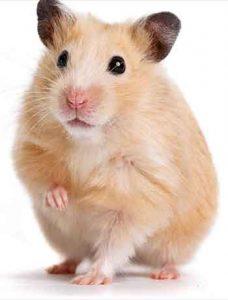 Les-Hamsters-sont-il-de-bon-animaux-de-compagnie03