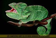 Les-caméléons-sont-ils-de-bons-animaux-de-compagnie-00