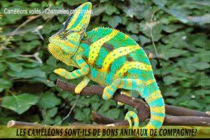 Les-caméléons-sont-ils-de-bons-animaux-de-compagnie-01