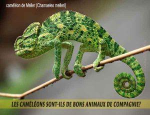 Les-caméléons-sont-ils-de-bons-animaux-de-compagnie-02