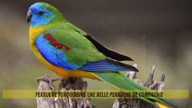 Perruche-turquoisine-une-belle-perruche-de-compagnie-00