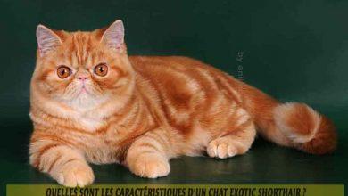 Quelles-sont-les-caractéristiques-d'un-chat-Exotic-shorthair-00