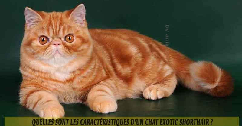 Quelles Sont Les Caracteristiques D Un Chat Exotic Shorthair Aniimoo