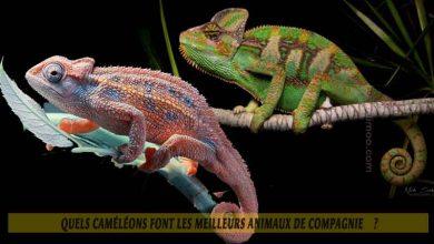 Quels-caméléons-font-les-meilleurs-animaux-de-compagnie--00