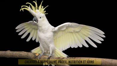 Cacatoès-à-huppe-jaune,-Profil,-nutrition-et-soins-00