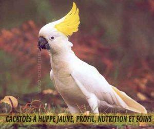 Cacatoès-à-huppe-jaune,-Profil,-nutrition-et-soins-01