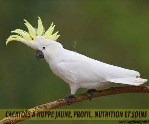 Cacatoès-à-huppe-jaune,-Profil,-nutrition-et-soins-03