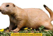 Le-chien-de-prairie-est-il-un-animal-de-compagnie.00