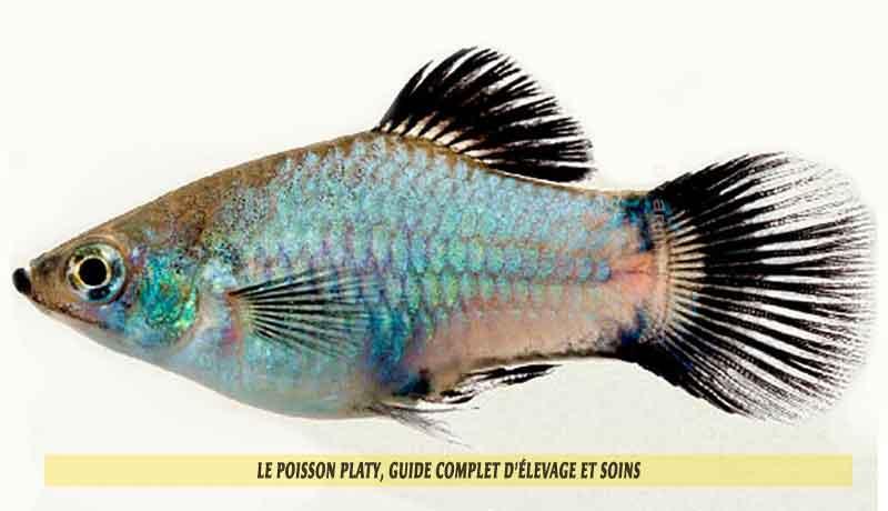 Le-poisson-platy,-Guide-complet-d'élevage-et-soins-00