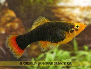 Le-poisson-platy,-Guide-complet-d'élevage-et-soins-01