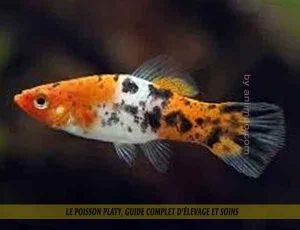 Le-poisson-platy,-Guide-complet-d'élevage-et-soins-02