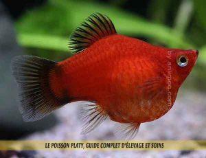 Le-poisson-platy,-Guide-complet-d'élevage-et-soins-03