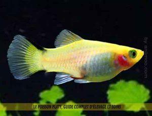 Le-poisson-platy,-Guide-complet-d'élevage-et-soins-04