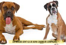 Les-Boxers-sont-ils-de-bons-chiens-de-compagnie-00