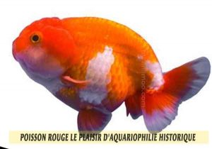 Poisson-rouge-le-plaisir-d'aquariophilie-historique-03
