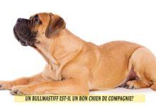Un-Bullmastiff-est-il-un-bon-chien-de-compagnie-00
