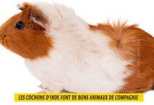 les-cochons-d'inde-font-de-bons-animaux-de-compagnie-00