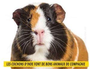 les-cochons-d'inde-font-de-bons-animaux-de-compagnie-01