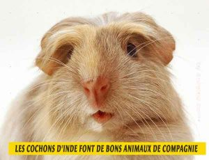 les-cochons-d'inde-font-de-bons-animaux-de-compagnie-02