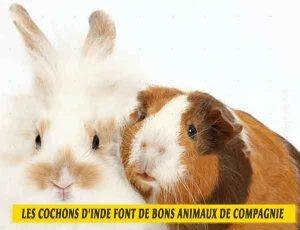 les-cochons-d'inde-font-de-bons-animaux-de-compagnie-04