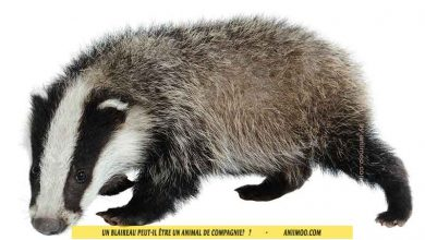Blaireau-d'Europe-Blaireau-commun,-Taisson-peut-il-être-un-animal-de-compagnie-00