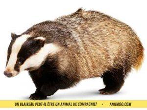 Blaireau-d'Europe-Blaireau-commun,-Taisson-peut-il-être-un-animal-de-compagnie-05