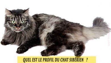 Chat-Sibérien-Profil-et-caractéristiques-00