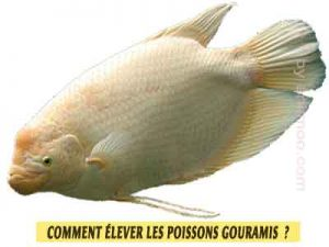 Gourami-Giant--Osphronemus-goramy-Comment-élever-les-poissons-Gouramis