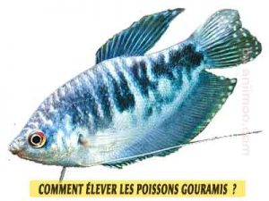 Gourami-bleu---Trichopodus-trichopterus---éleveage-les-Gouramis