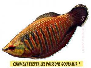 Gourami-chocolat-Sphaerichthys-osphromenoides-Comment-élever-les-poissons-Gouramis-01